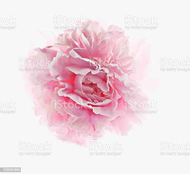 Close up of pink peony picture id103332955?b=1&k=6&m=103332955&s=612x612&h=rroajgnezl2c9a8xtmgszykktle7a4uw8l5hfgwh6ma=