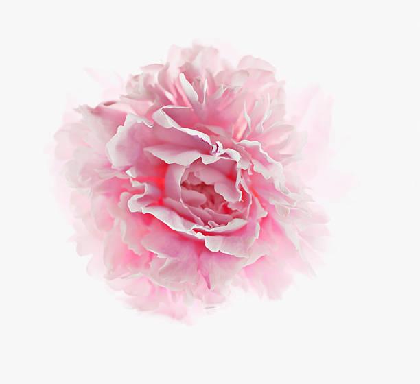 Close up of pink peony picture id103332955?b=1&k=6&m=103332955&s=612x612&w=0&h=mxa26hidjbbo36duyby7cmnrrcjzdp6wgaujx9y7dmk=