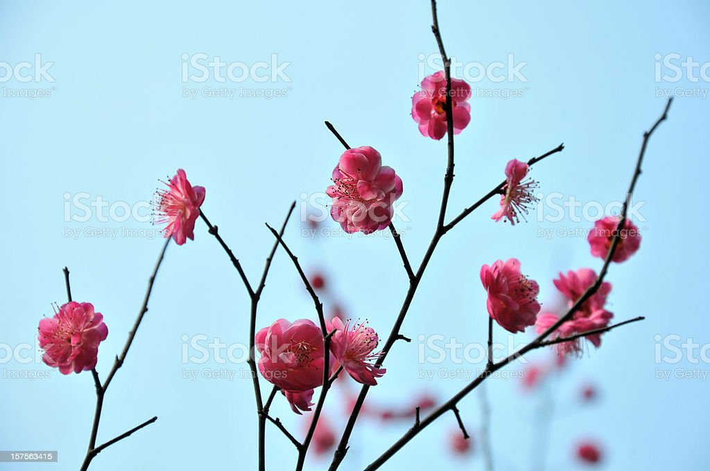 Close up of pink plum flowers royalty-free stock photo
