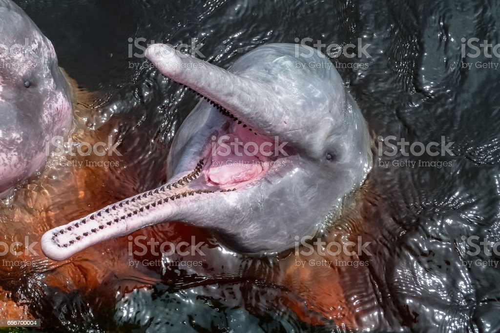 Close up of Pink river dolphins, mouth open, Rio Negro – Foto