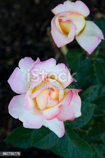 Close up of pink Chicago Peace Rose.