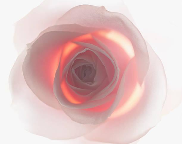 Close up of pink rose picture id103332798?b=1&k=6&m=103332798&s=612x612&w=0&h=lglvqjfkll6isaaeu0 gynmai2pawgwzz jpkhf4y9y=