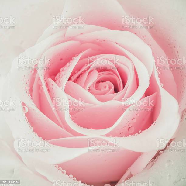 Close up of pink roses picture id674413480?b=1&k=6&m=674413480&s=612x612&h=a3mhy ut0molmbhmklqy69w4rhtwrbvsxpniu8m1zuq=