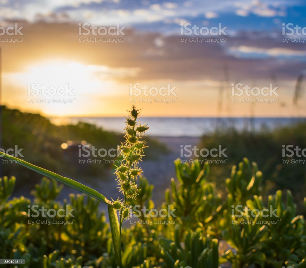 close up of plants with burrs on beach sand dunes on an early summer morning stock photo