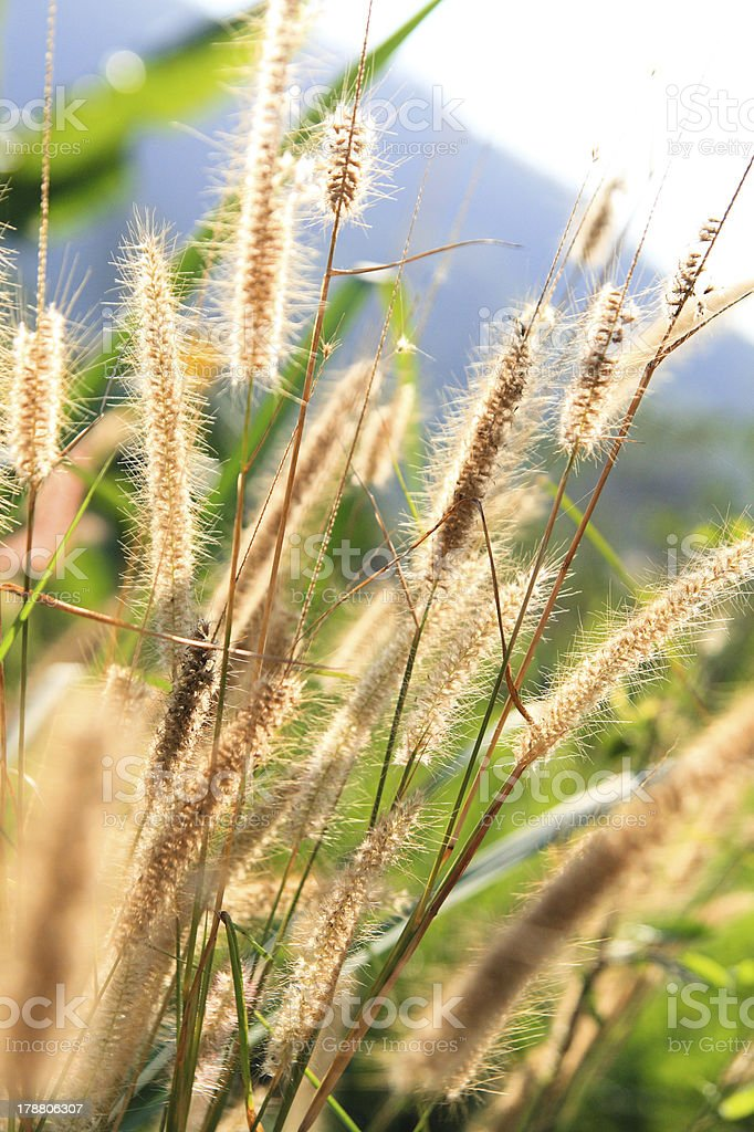 close up of Poaceae royalty-free stock photo