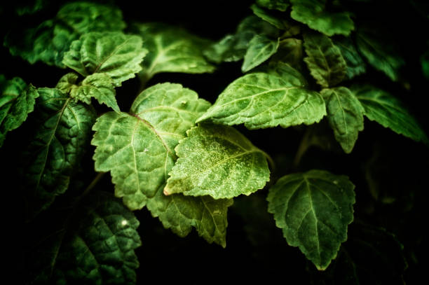 close up of Pogostemon cablin patchouli plant leaves stock photo
