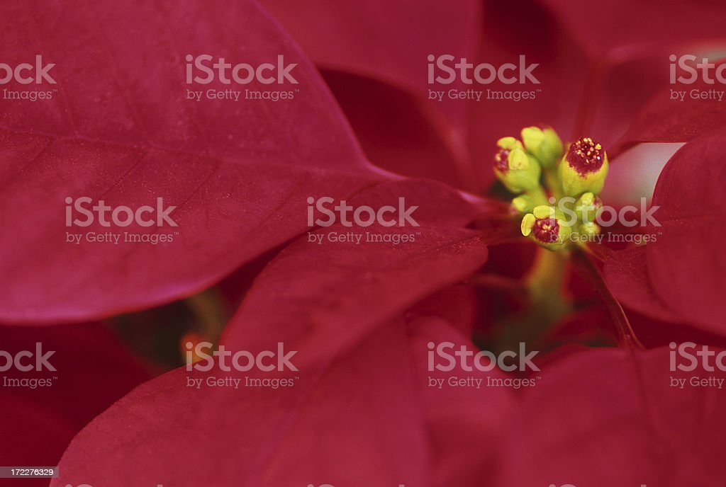Close up of Poinsettia royalty-free stock photo