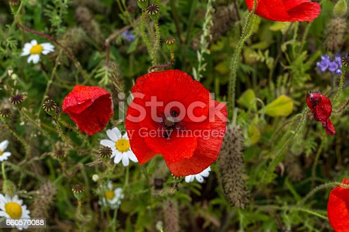 Close up of poppies and other wild countryside flowers.