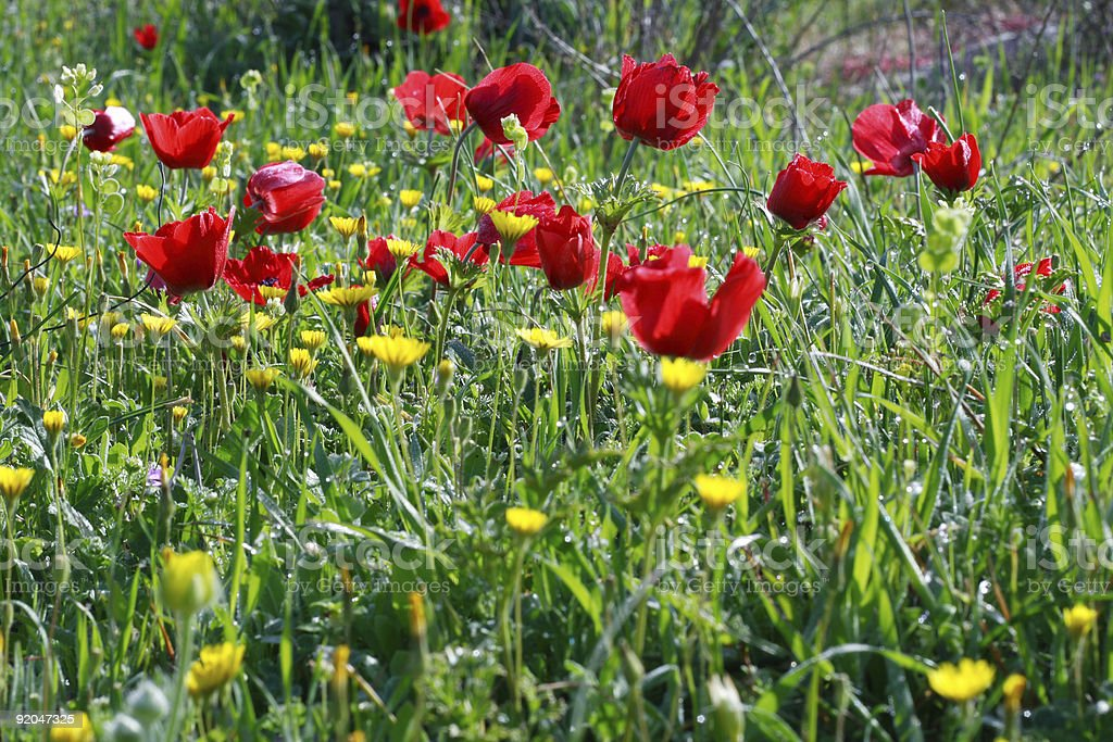 Close up of poppies royalty-free stock photo
