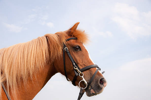 close up of pretty chestnut pony against blue sky. - horse bit stock photos and pictures