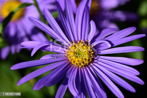 Close up of purple glowing asters with yellow pollen blooming on a meadow in autumn
