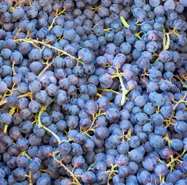 Close up of purple grapes stock photo