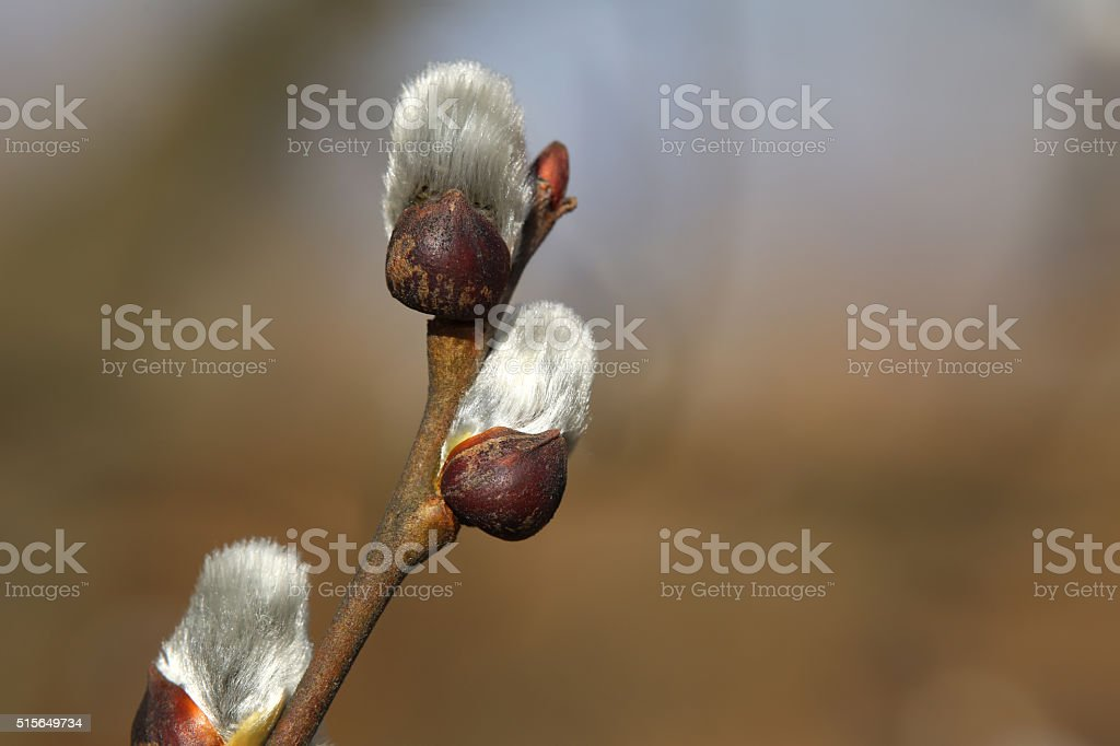 Close up of pussy willows as a spring symbol stock photo