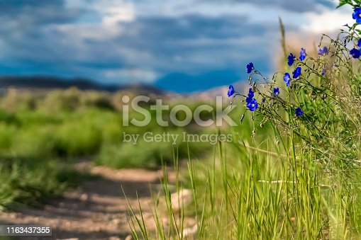 Close up of radiant blue flowers and vivid green grasses along a dirt road. Cloudy blue sky can be seen in the blurry background on this sunny day.