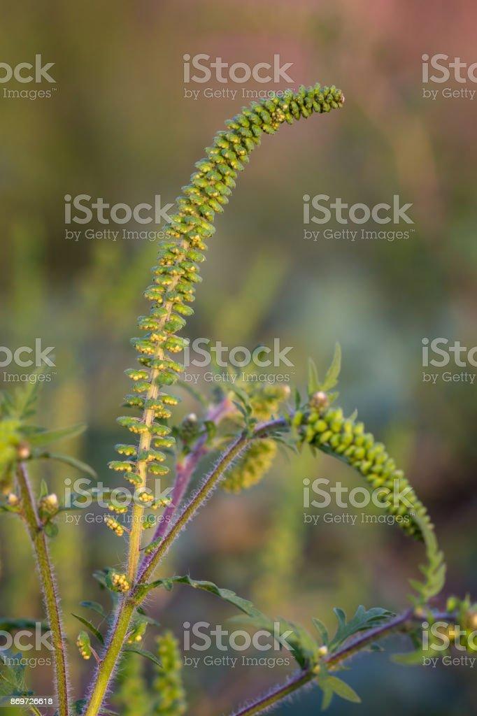 Nahaufnahme von Ambrosia, sehr allergisch Pflanze – Foto