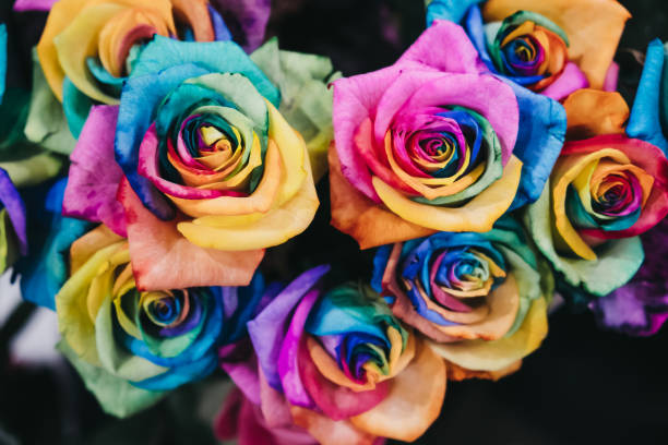 Close up of rainbow coloured roses. stock photo