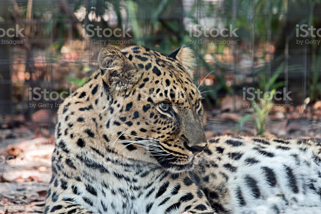 Close up of reclining Leopard stock photo