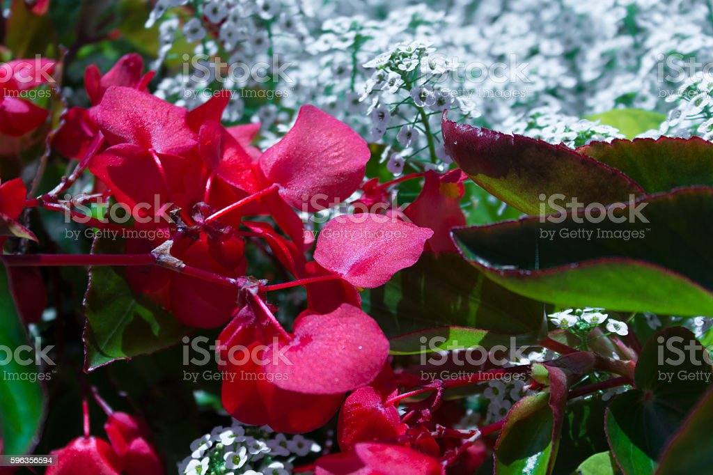 Close up of red flowers with little white flowers royalty-free stock photo