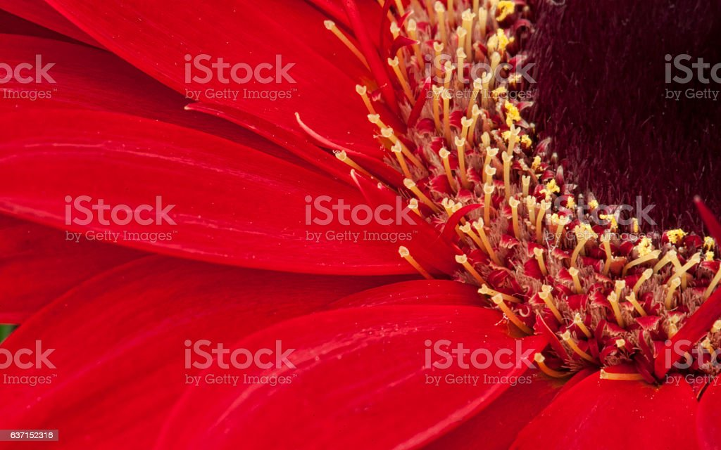 Close Up of Red Gerbera Daisy Flower stock photo