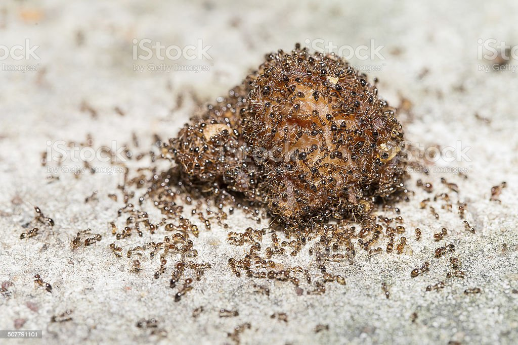 Close up of red imported fire ants stock photo