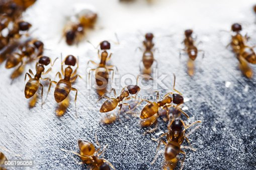 istock Close up of red imported fire ants (Solenopsis invicta) 606196058