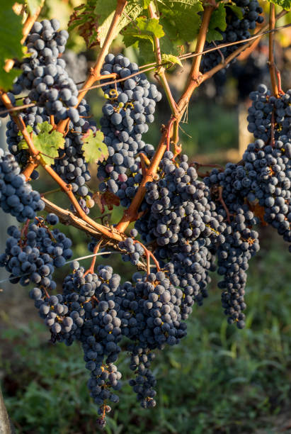 Close up of red merlot grapes in vineyard. Medoc, Gironde, Aquitaine. France stock photo
