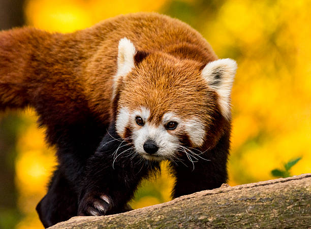 Red Panda Panda Rainforest Forest Stock Photos, Pictures & Royalty ...