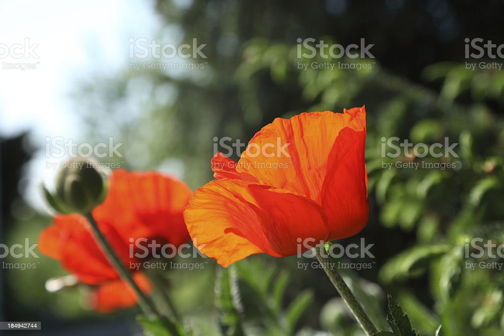close up of red poppy royalty-free stock photo