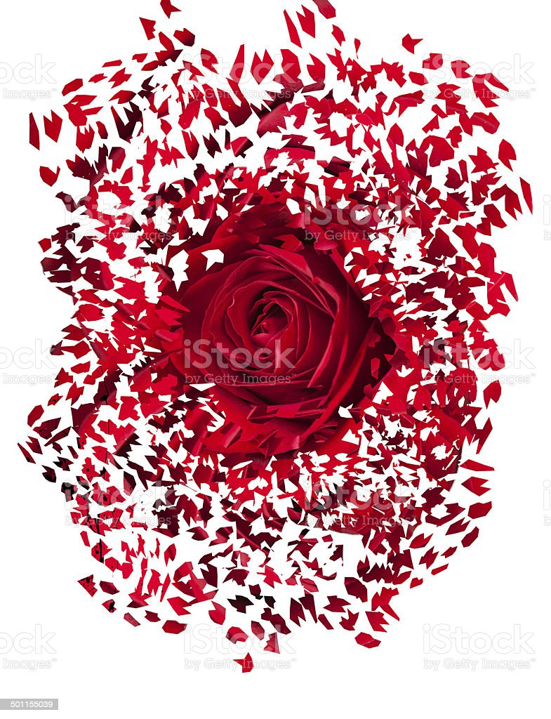 Close up of red rose exploding stock photo