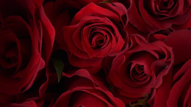 close up of red rose – zdjęcie