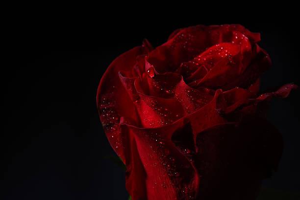 Close up of red rose with dramatic lighting on black picture id530592148?b=1&k=6&m=530592148&s=612x612&w=0&h=jpamk82frmdclnf0kld6luqgpirdyqvhhqpojvr7u7a=