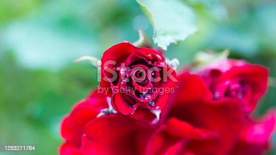 Feldafing, Bavaria / Germany - June 7, 2020: Close up of red rose with water drops. Symbol of love.