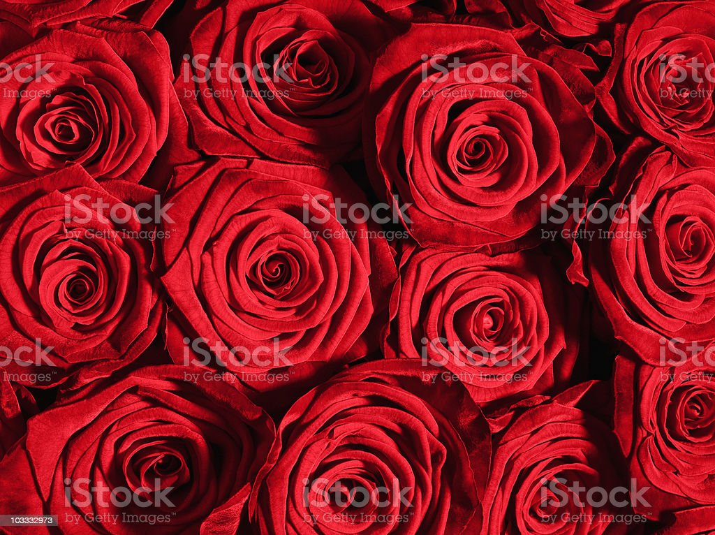 Close up of red roses royalty-free stock photo