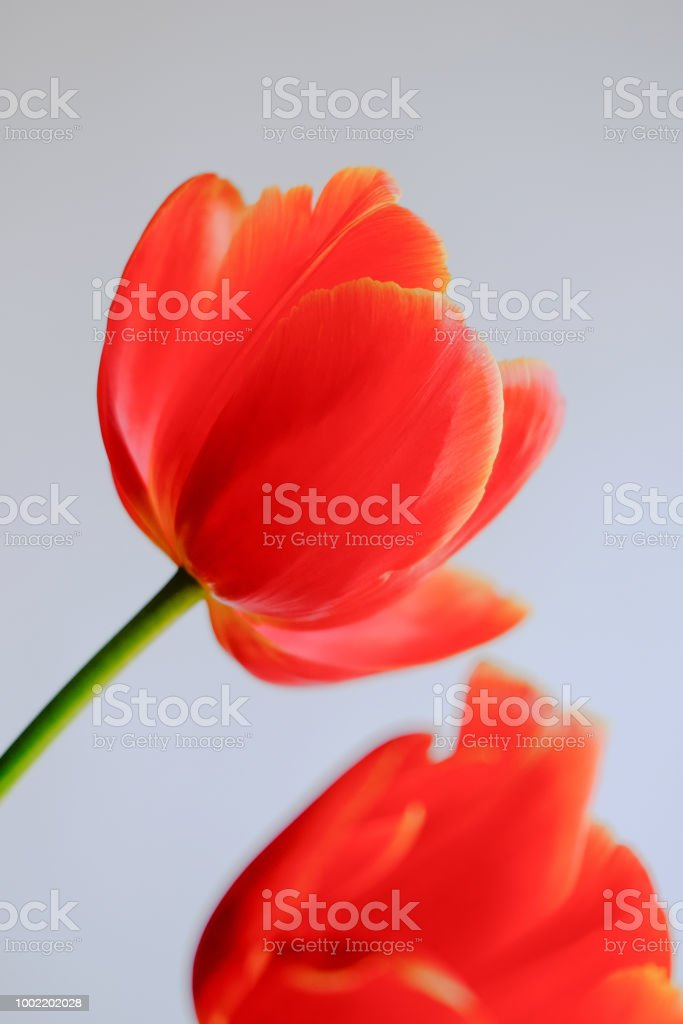 close up of red tulip flower head against a light background stock photo