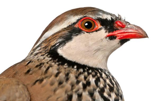 cerca de la perdiz roja o perdiz francés, alectoris rufa, un pájaro de juego en la familia del faisán delante de fondo blanco - perdiz roja fotografías e imágenes de stock