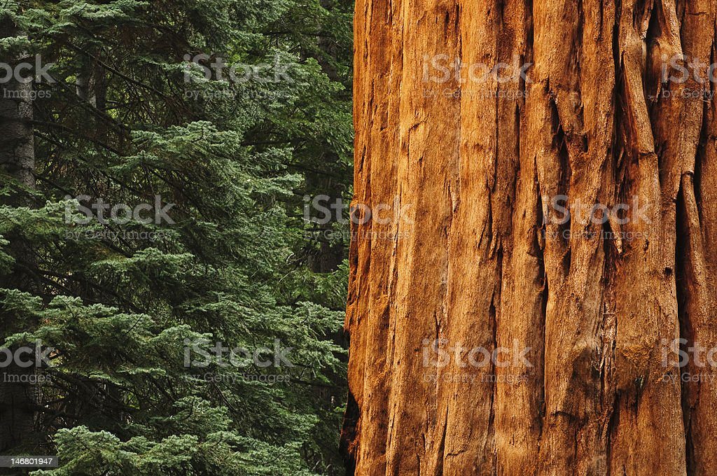 close up of Redwwod tree in forest stock photo