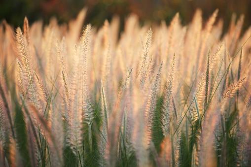 close up of reeds grass background
