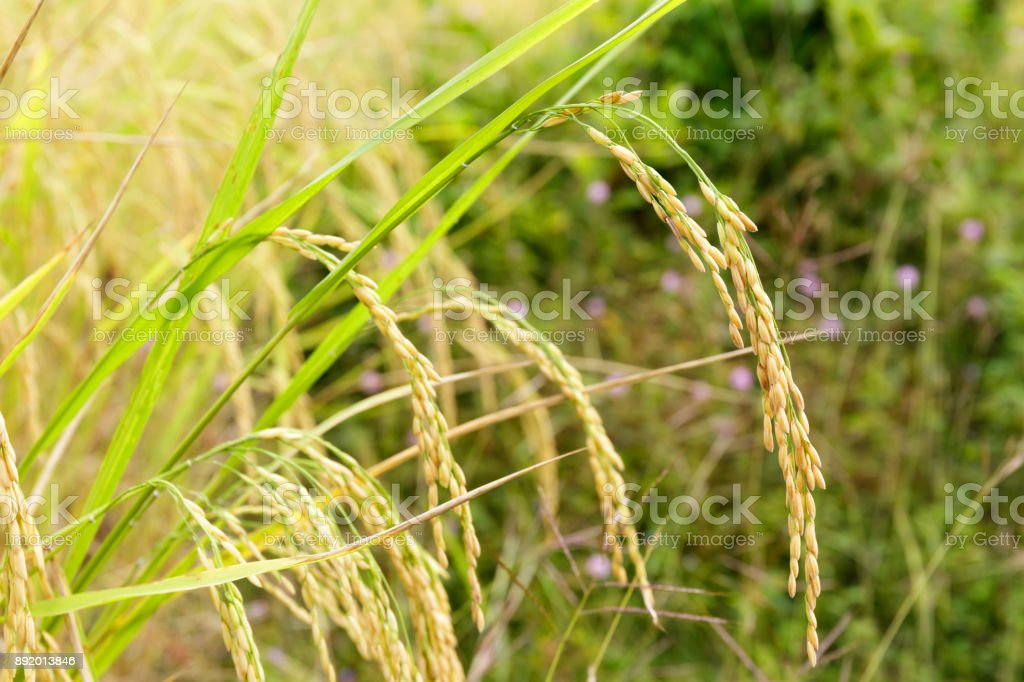 Close Up of Rice Grain in the Field with Green Grass stock photo