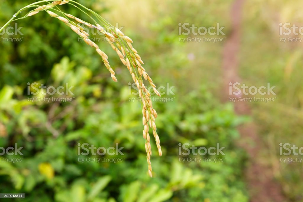 Close Up of Rice Grain on Its Stalk in a Paddy Field stock photo