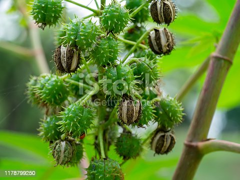 istock Close up of Ricinus communis seeds on tree. 1178799250