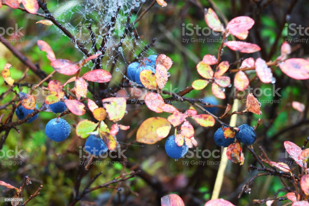 A close up of ripe Blueberry Bushes with red leaves in fall in Denali National Park. stock photo