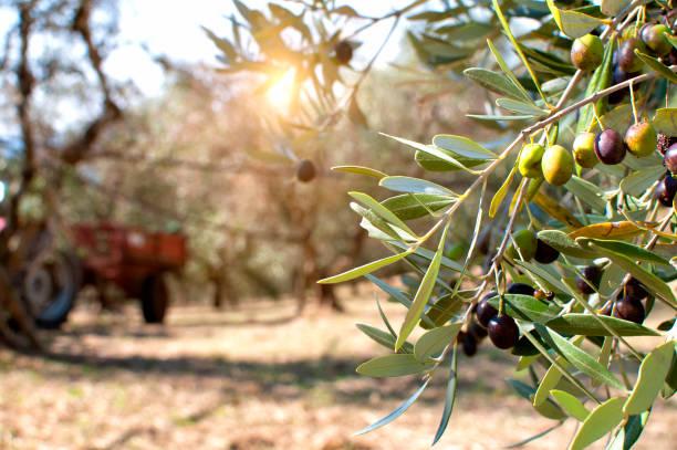 Close up of ripe olives on olive trees stock photo