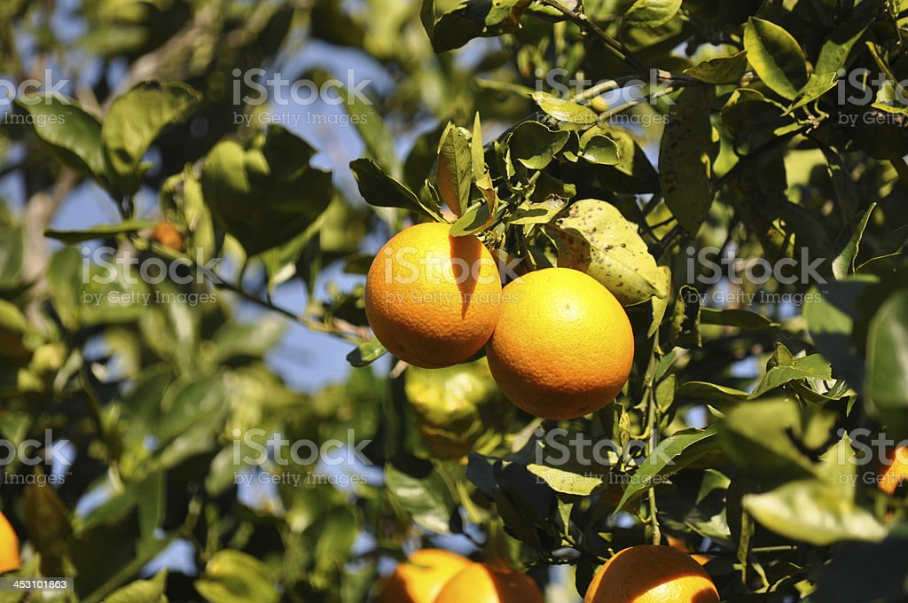 Close up of ripe oranges hanging on the tree stock photo