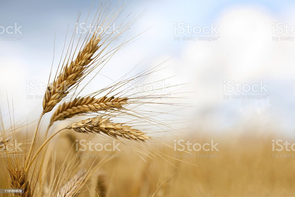 Close up of ripe wheat ears stock photo