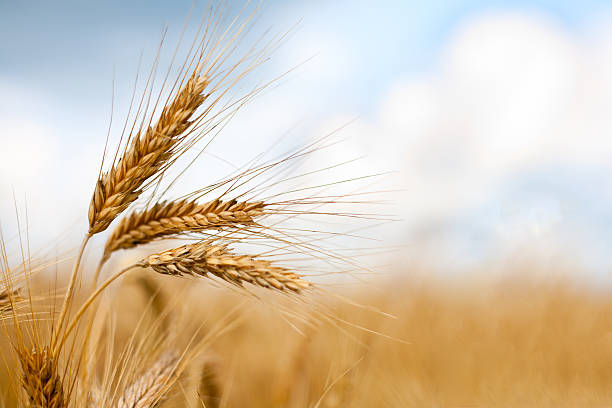 Close up of ripe wheat ears Close up of ripe wheat ears against beautiful sky with clouds. Selective focus. wheat stock pictures, royalty-free photos & images