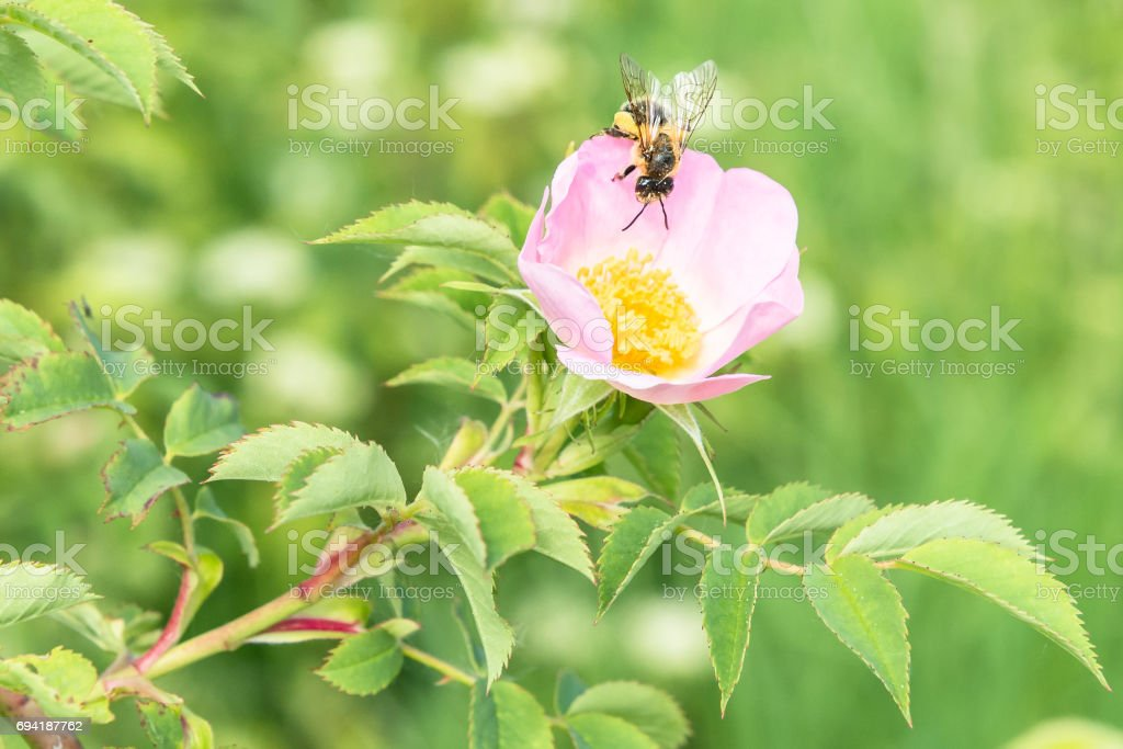 Close up of rose flower in a garden with a bee on the flower stock photo