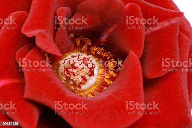 Close up of rose on white picture id90332136?b=1&k=6&m=90332136&s=612x612&h=1rqugqpt6ciphdrqsqth8qlx epdvdpe5btqejdlnuq=