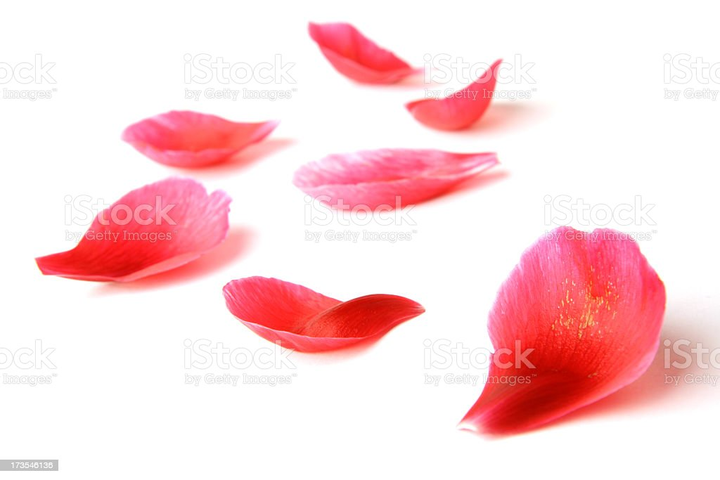 Close up of rose petals with a white background royalty-free stock photo