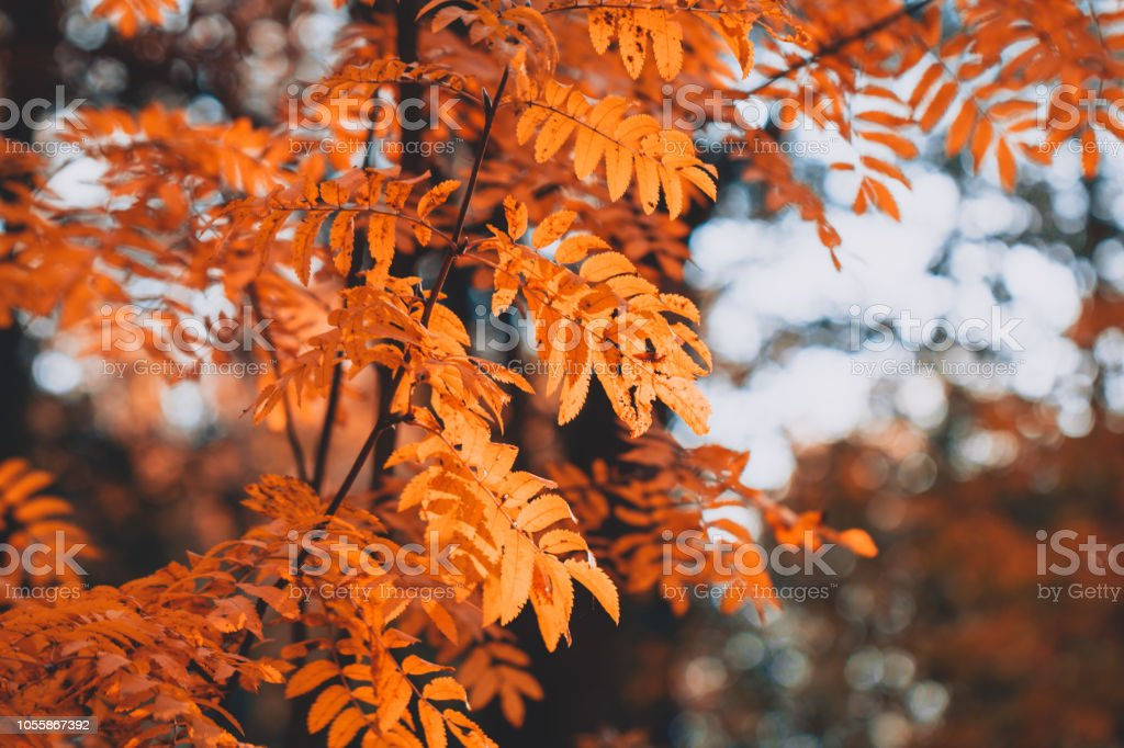 Close up of rowan branch in an autumn forest. Nature background. – zdjęcie