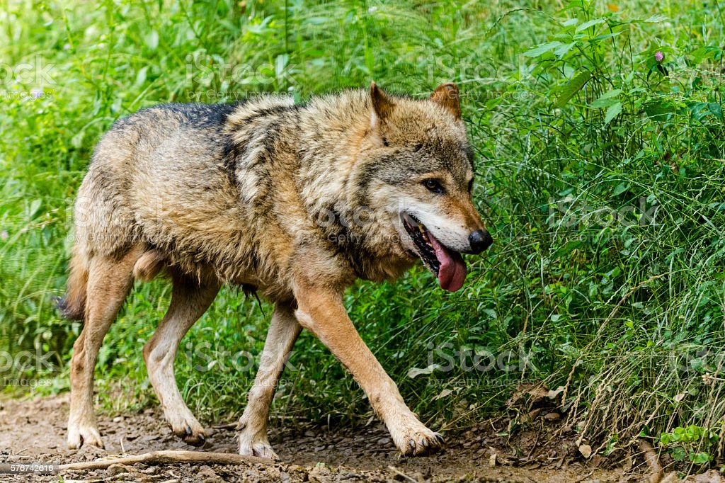 Close up of running wolf at forest path stock photo